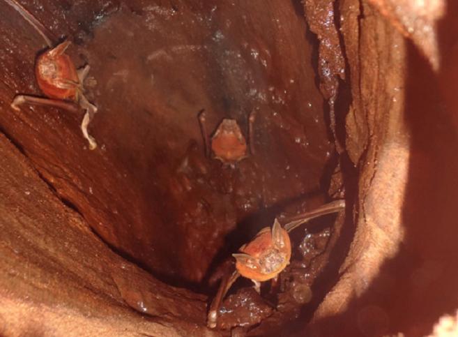 Estudo diferenciado relata interações entre morcegos e Araras Azuis no Pantanal