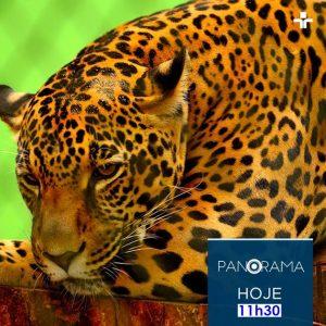 Onça-pintada será a estrela do Panorama desta quinta; programa vai ao ar às 11h30. (Imagem: TV Cultura/Divulgação)