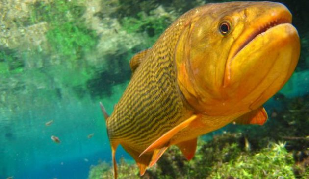 Legislação em vigor desde o início do ano proíbe a pesca do dourado no Estado. (Foto: Imasul/Divulgação)